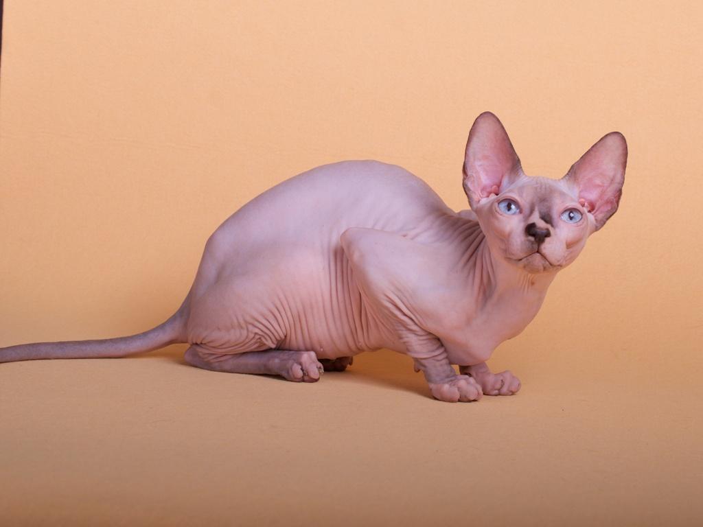 Египетская бесшерстная кошка