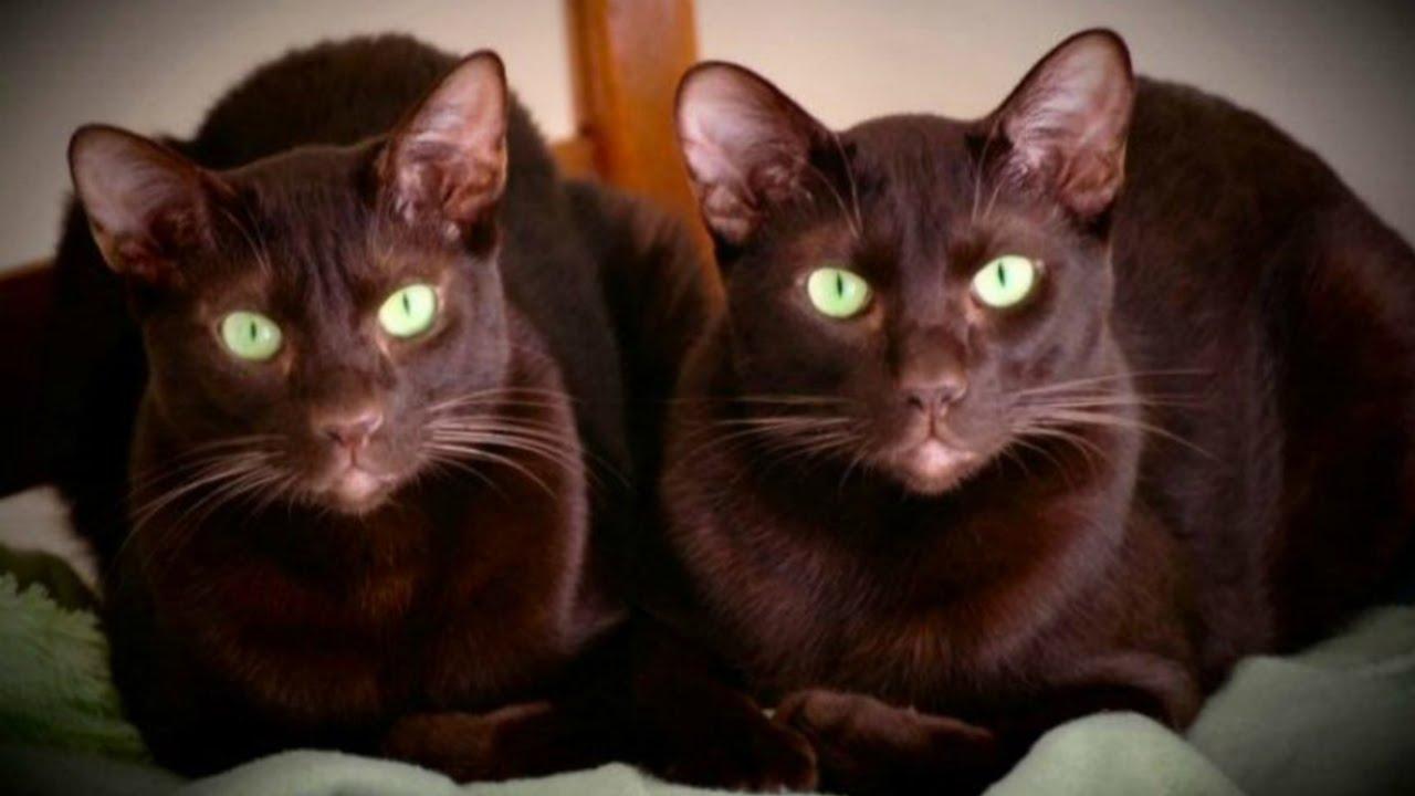 Гавана описание породы кошек