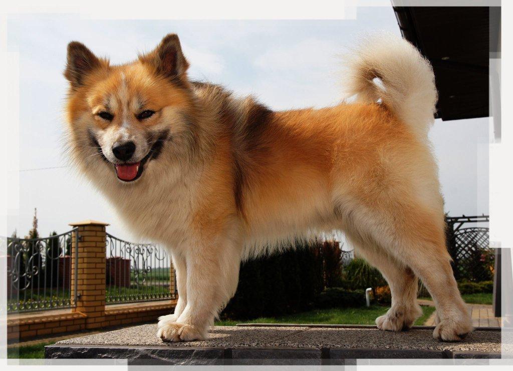 Характеристика породы Исландская собака