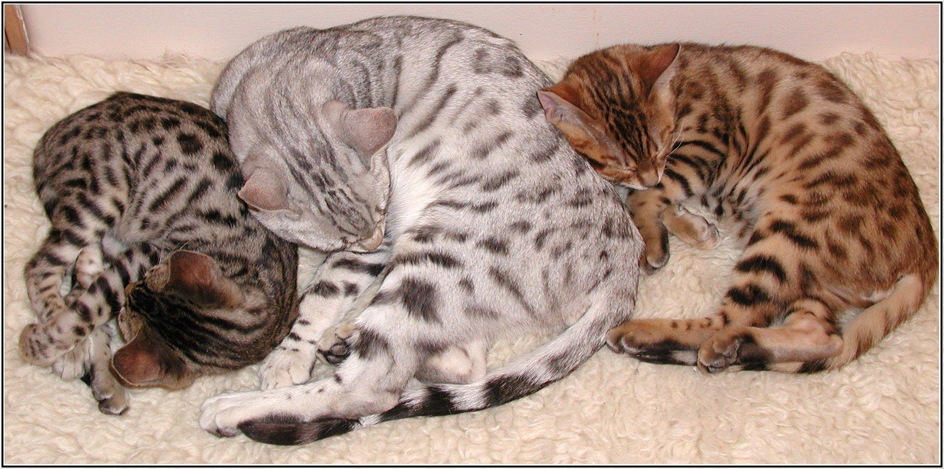 Какие бывают окрасы бенгальских кошек