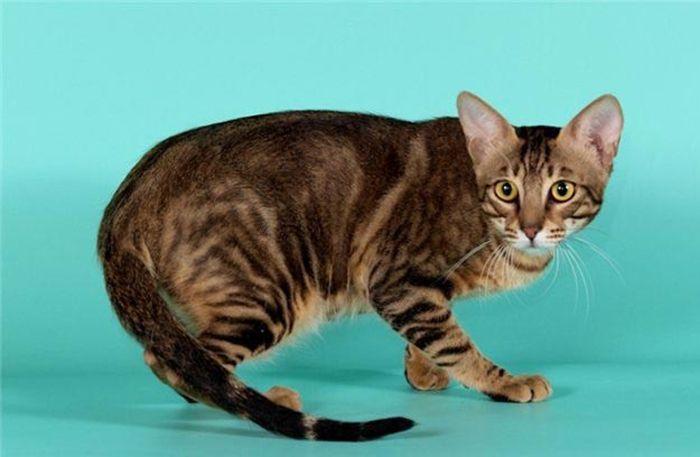 Кенийская лесная кошка сококе