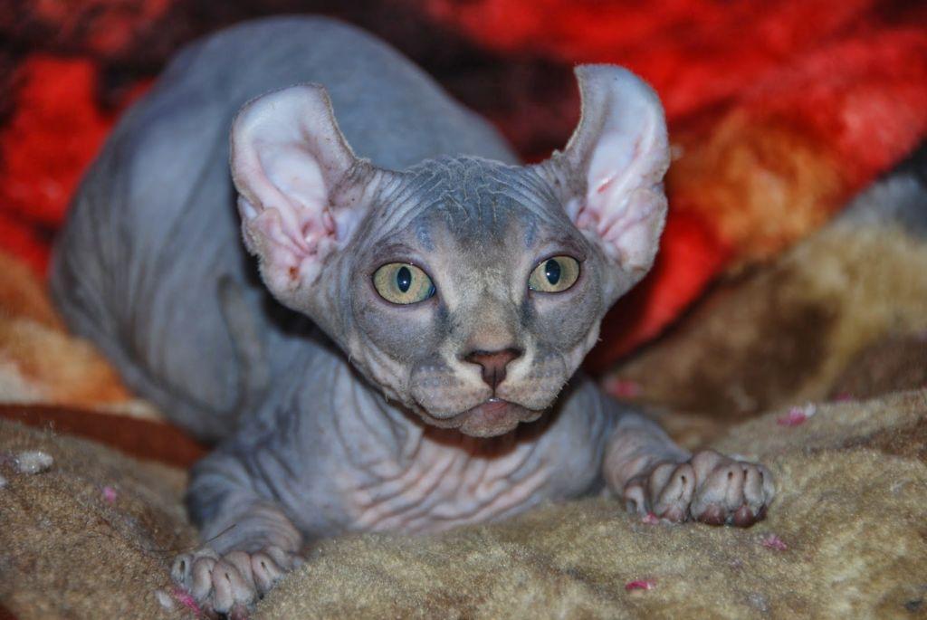 Кошка эльф сфинкс
