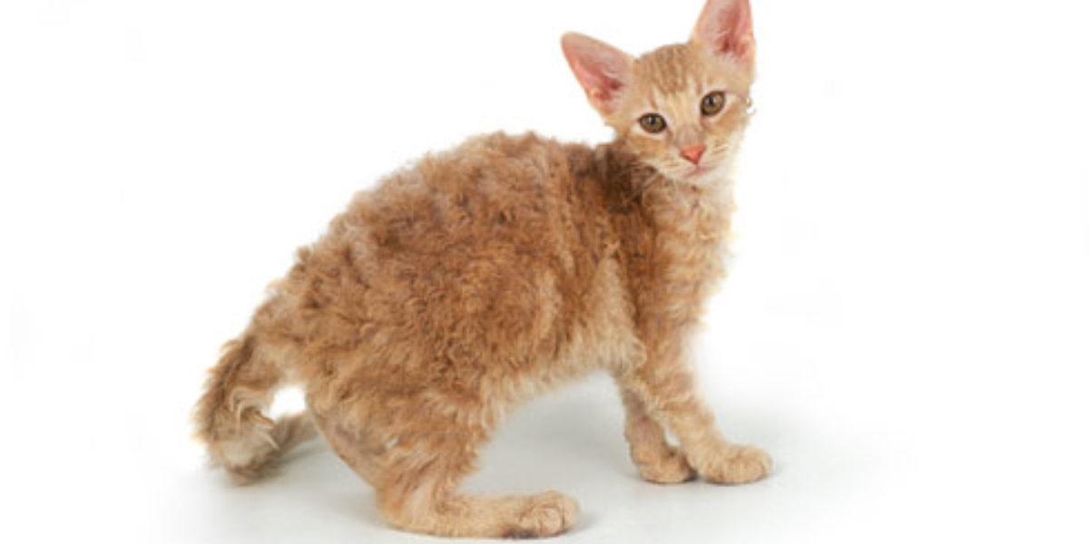 Лаперм - описание породы кошек