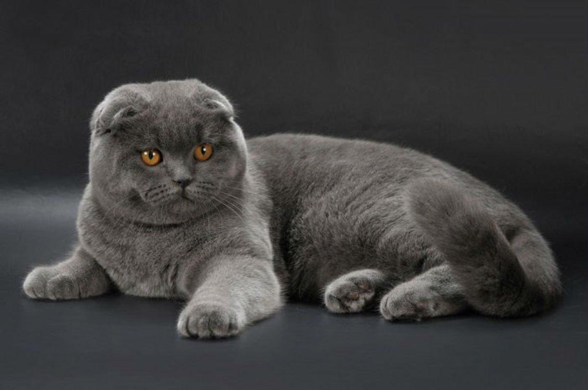 Описание британской вислоухой кошки