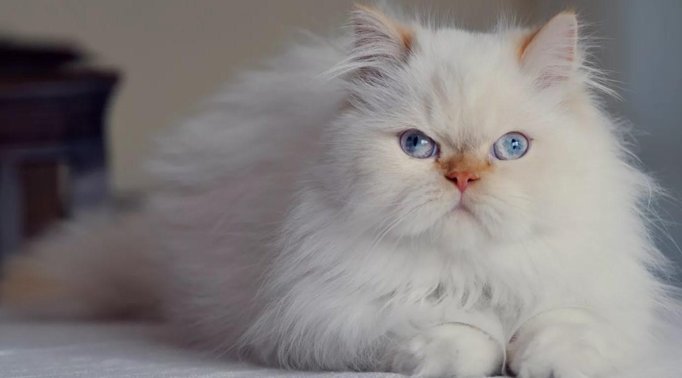 Персидская кошка описание породы и характера