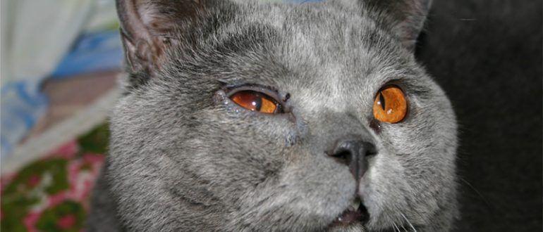 Почему у британского котенка слезятся глаза