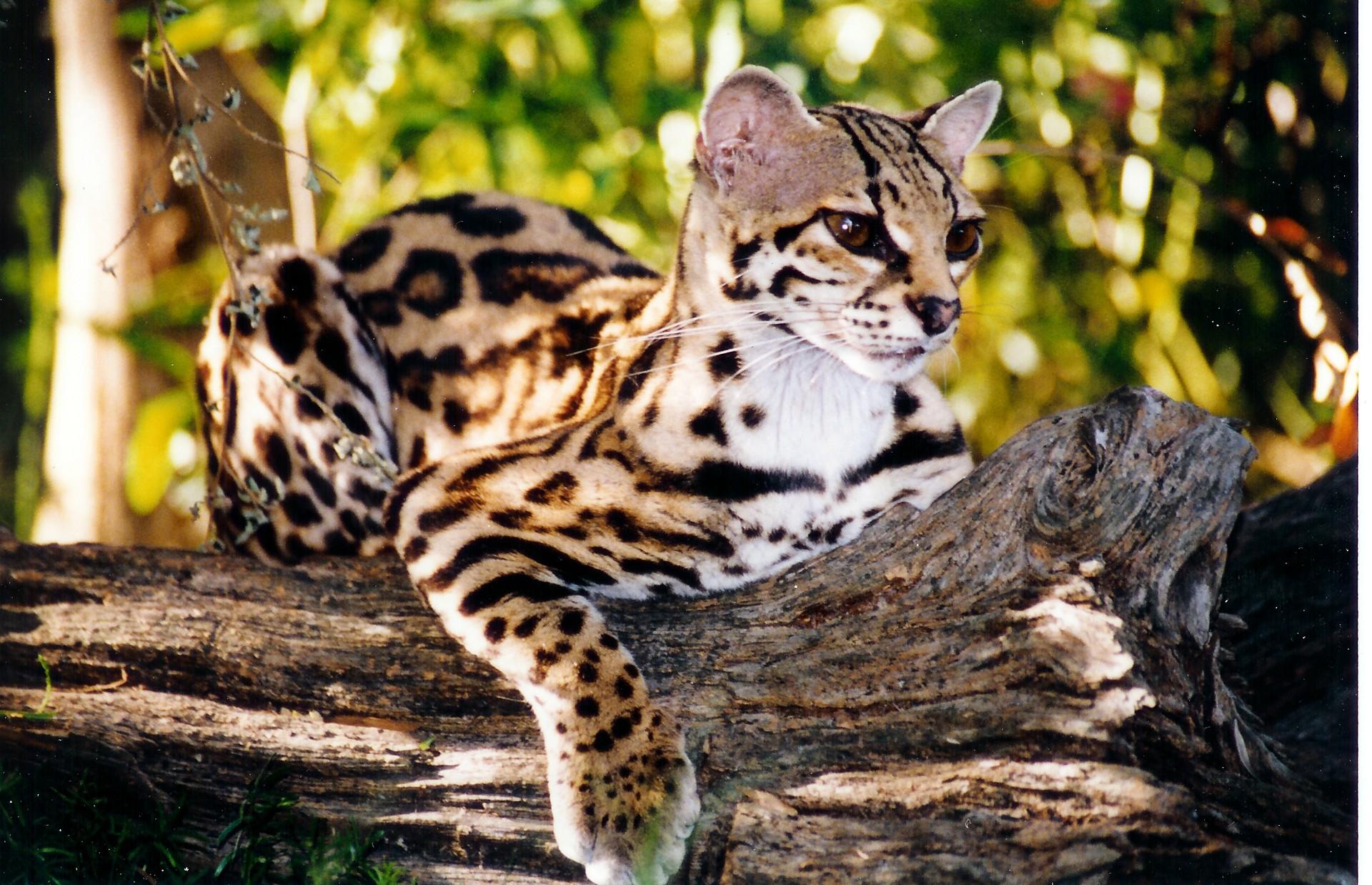 Потрясающие дикие кошки
