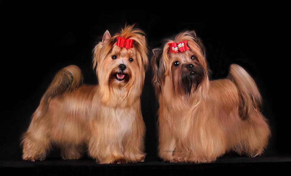 Русская салонная собака описание