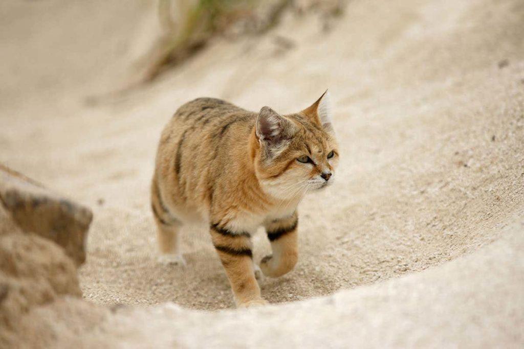 Сахарская кошка