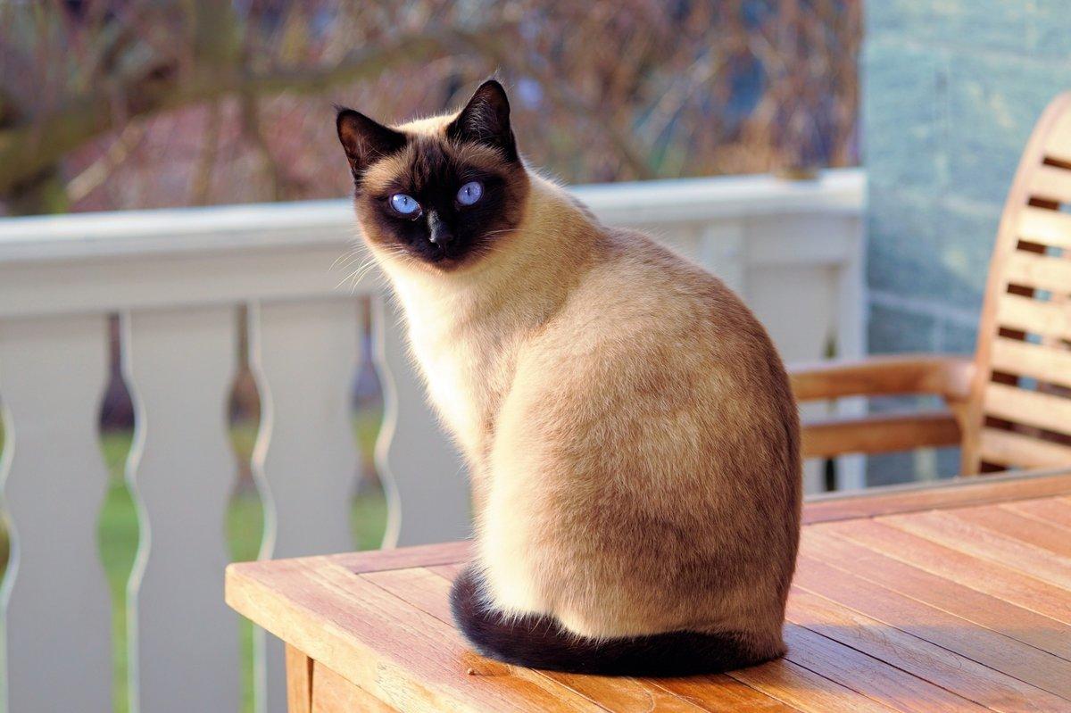 Сиамская кошка описание породы и характера