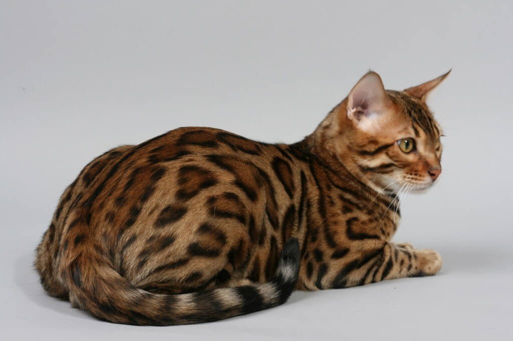 Сколько живут бенгальские кошки