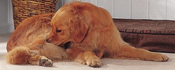 собака чешется блохи что делать