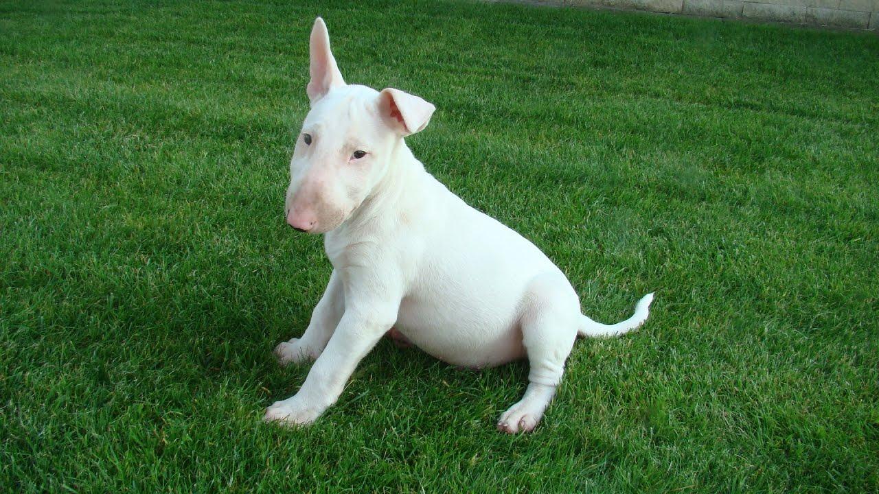 Собака с крысиной мордой - бультерьер