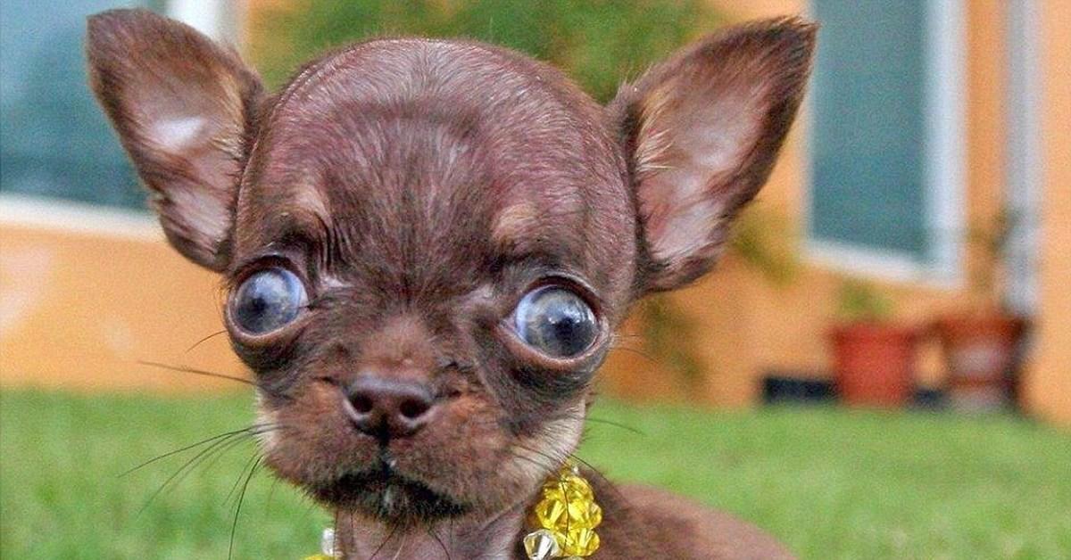 Собака с выпученными глазами порода