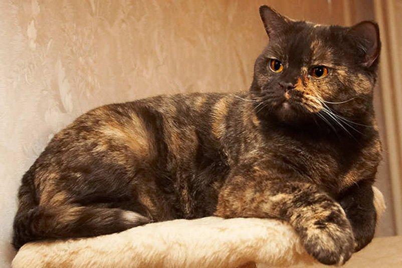 Черепаховый окрас британских кошек