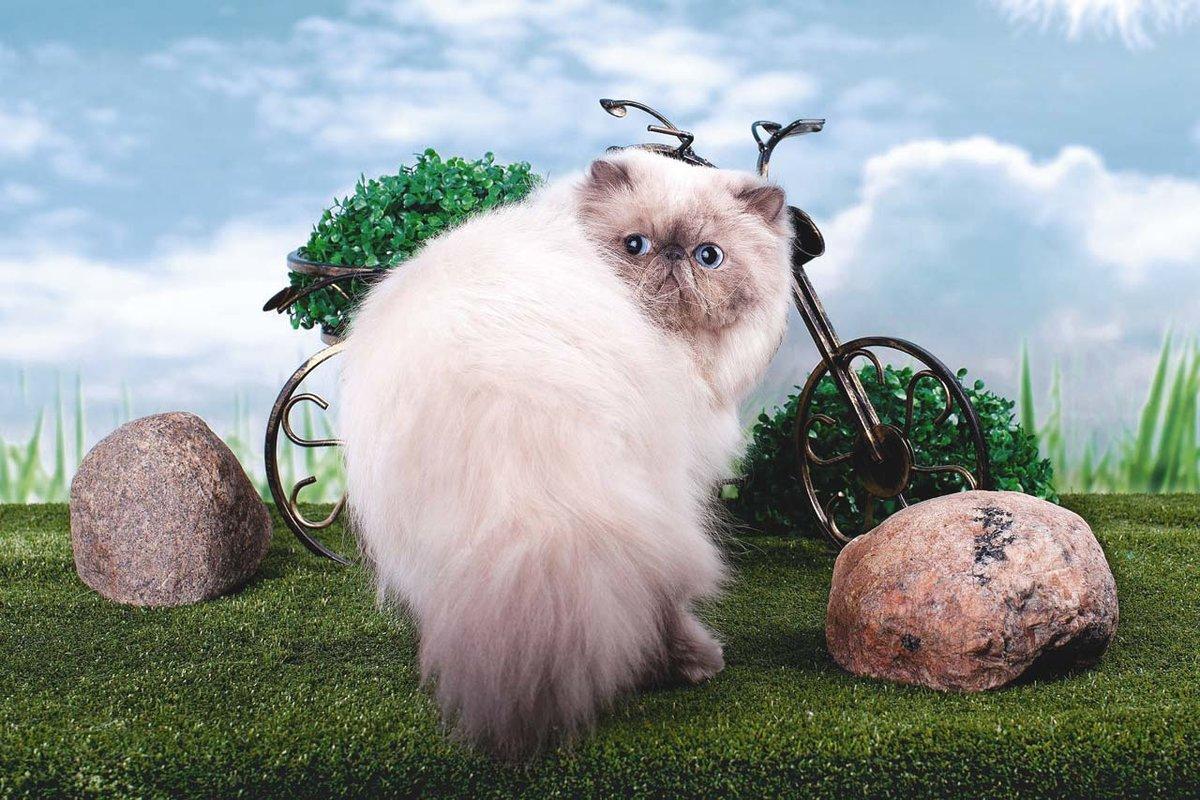 Гималайская кошка описание