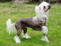 Характеристика породы китайской хохлатой собаки