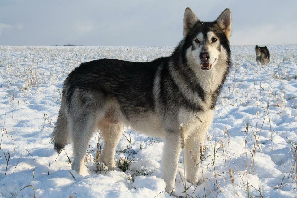 Инуит собака