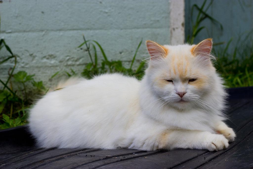 Карликовая кошка Наполеон