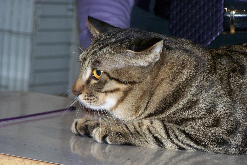 Китайская порода кошек Ли Хуа