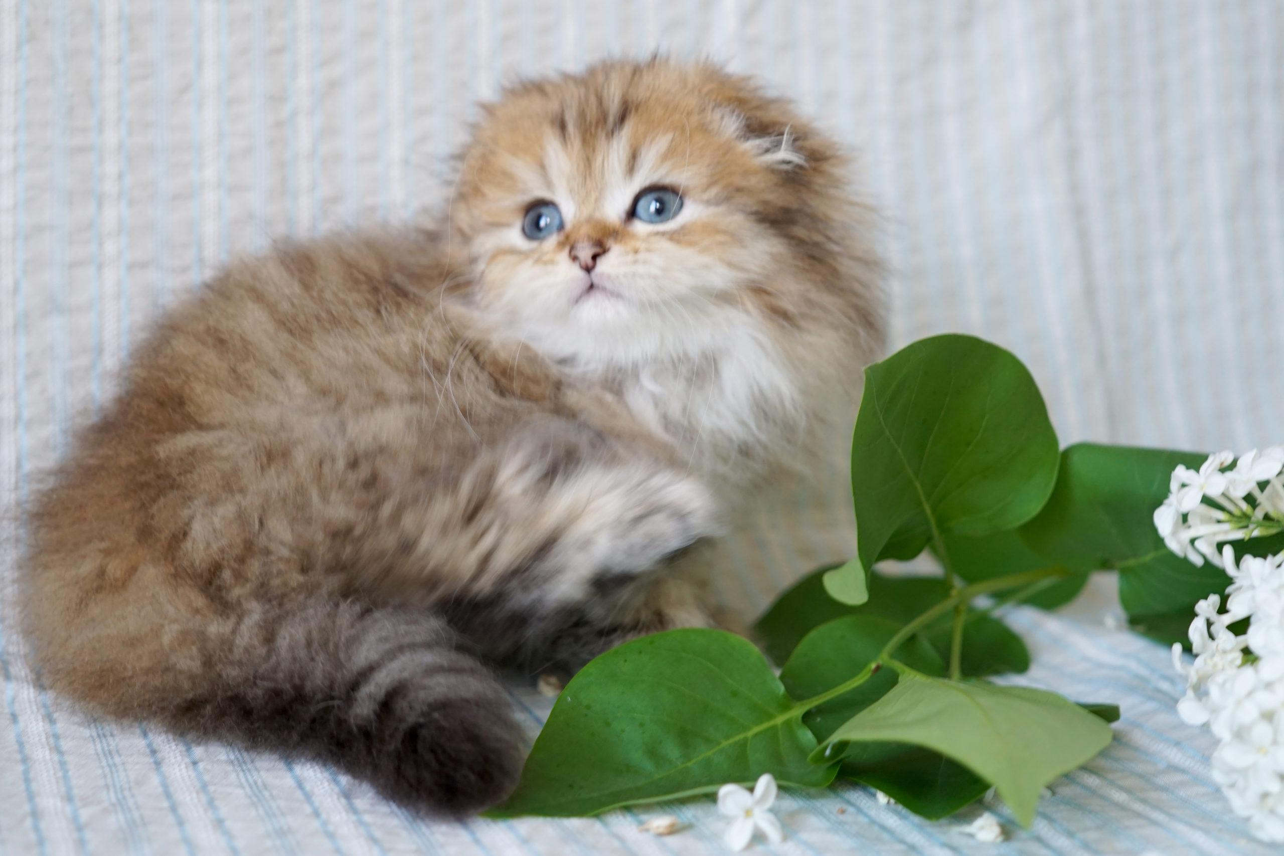 кошки хайленд фолд