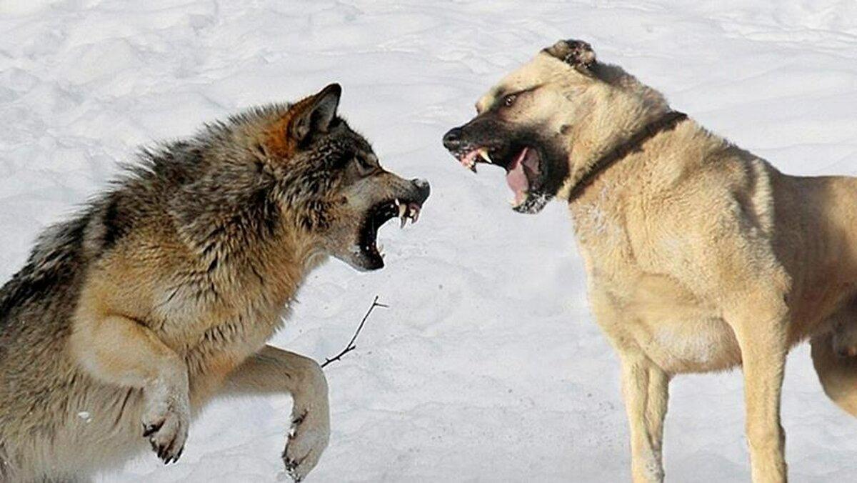 Кто сильнее собака или волк