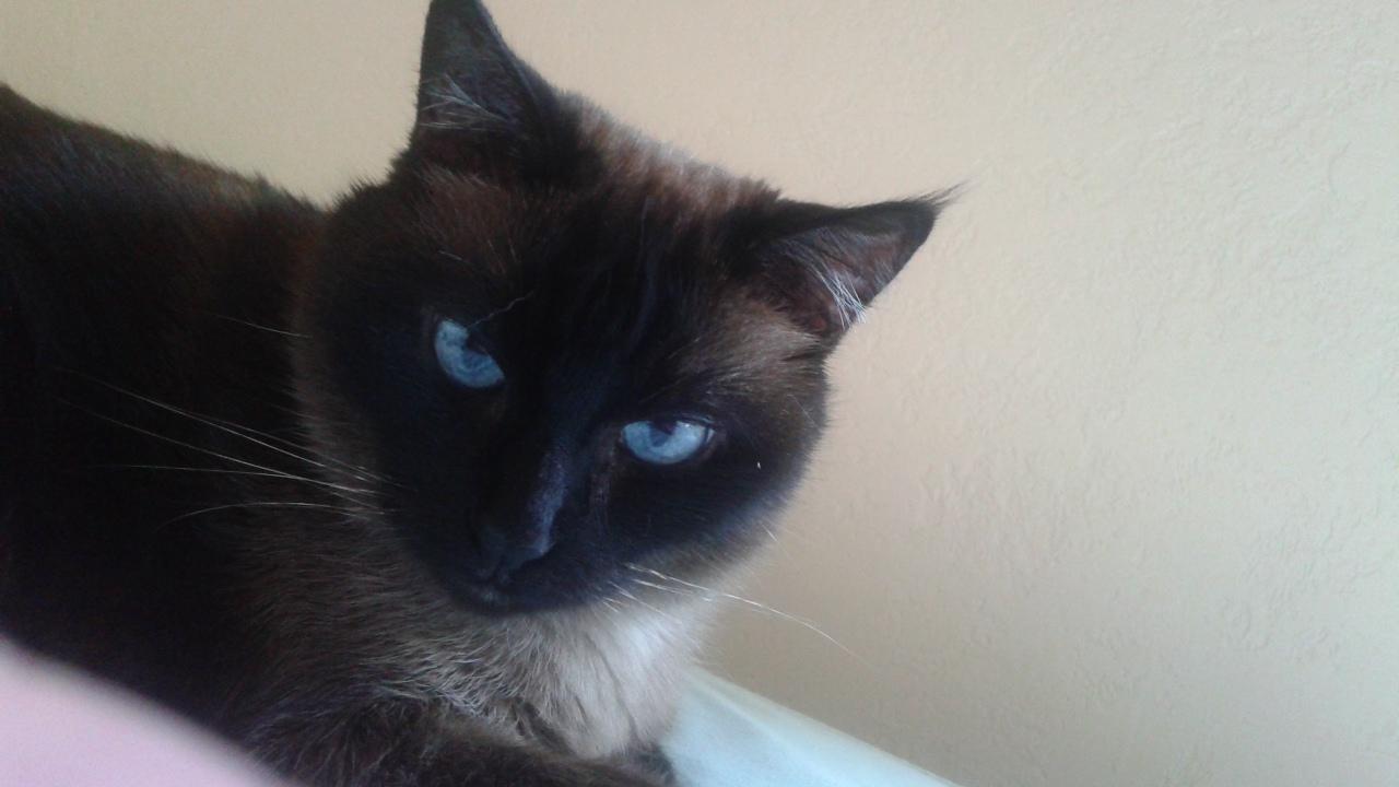 Могут ли сиамские кошки быть черными