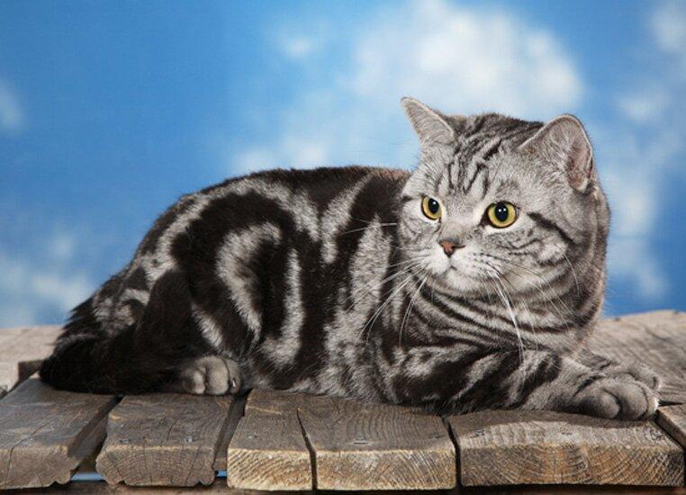 Мраморная британская кошка