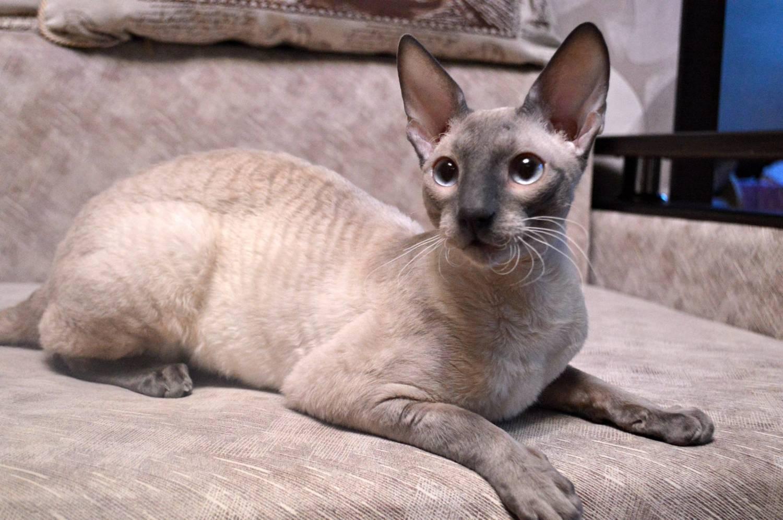 Описание кошки породы корниш-рекс