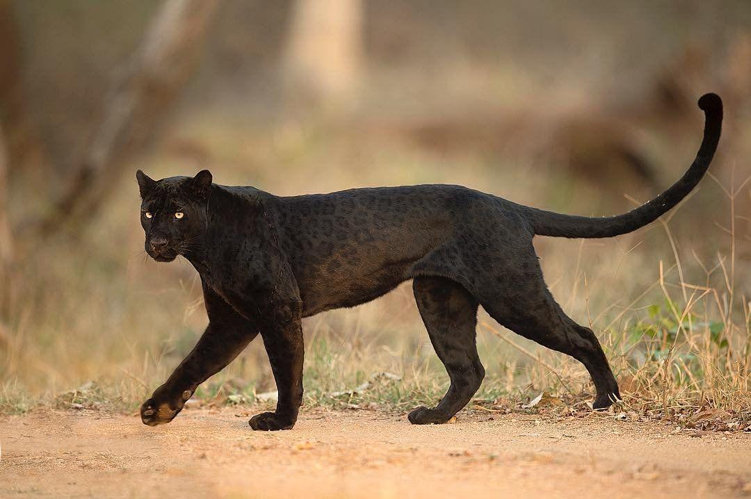 Пантера черная кошка