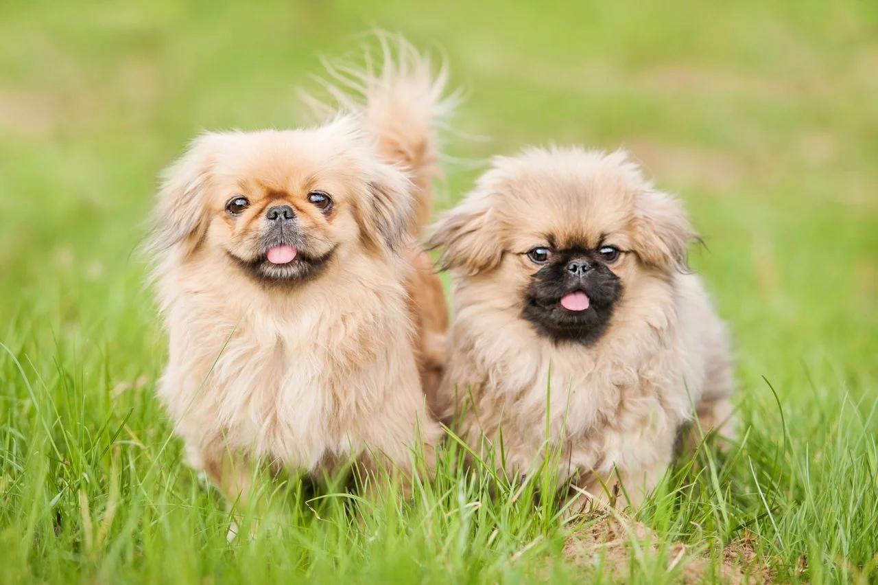 Пекинес порода собаки описание породы