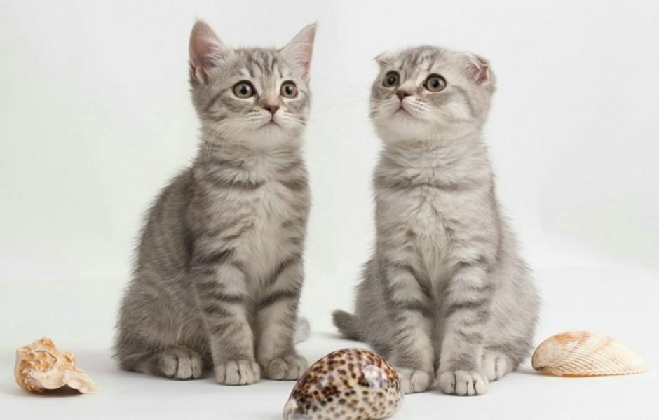 Почему у вислоухой кошки поднялись ушки