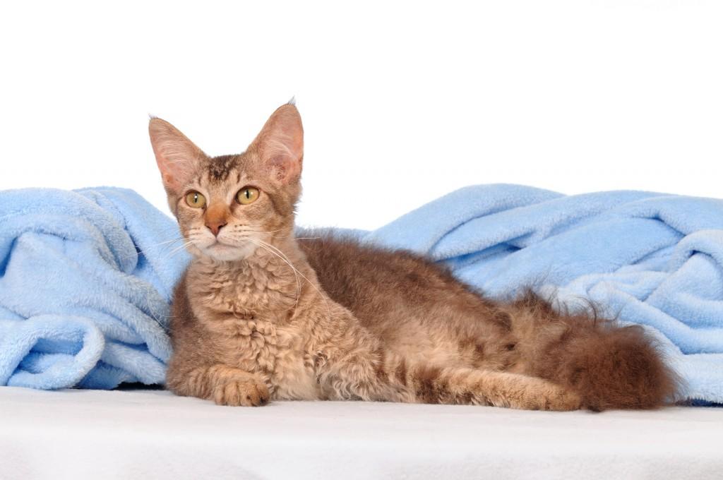 Порода кошек Лаперм особенности ухода
