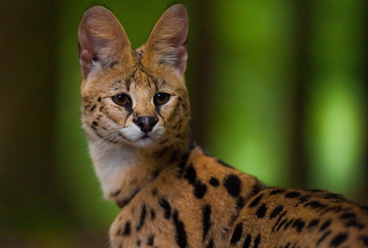 Порода кошек похожих на гепарда сервал