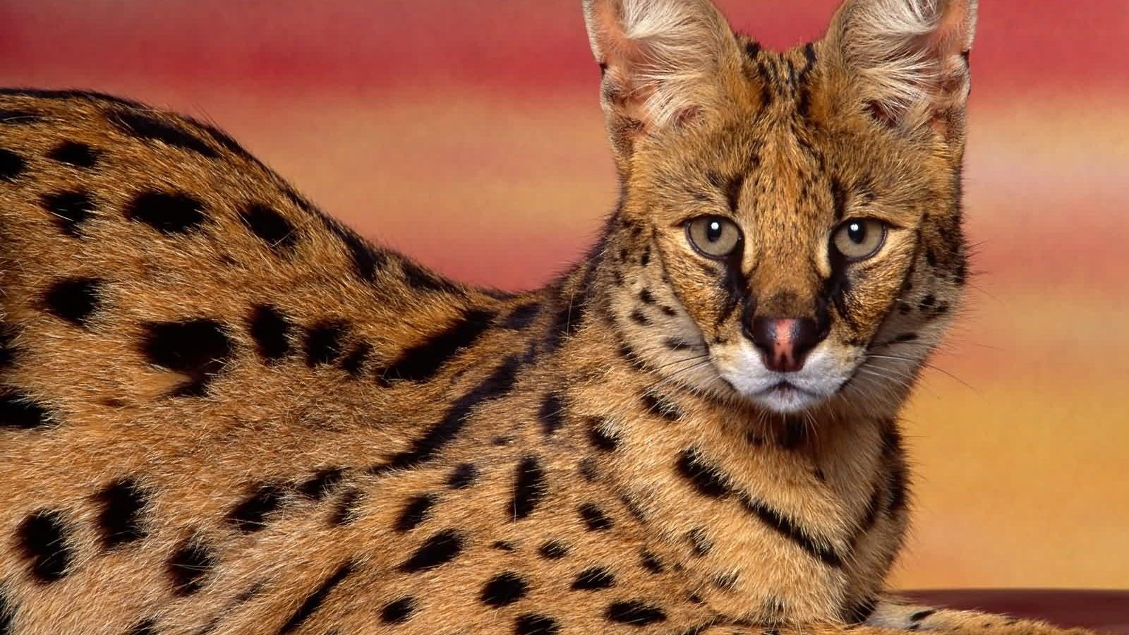 Редкие породы кошек из Африки