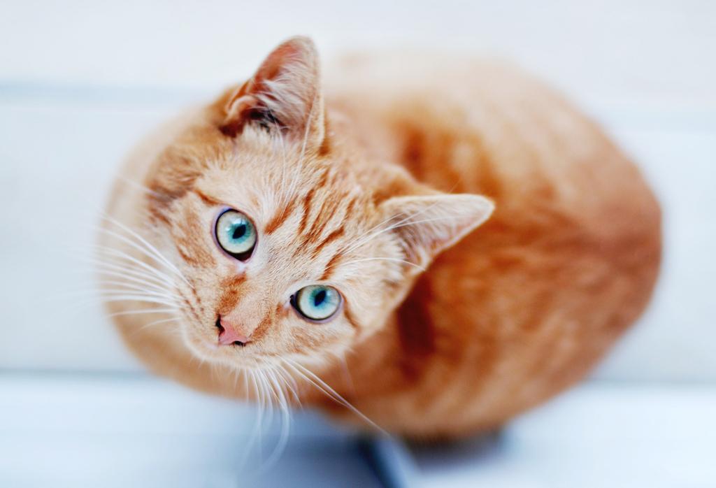 Рыжий кот с голубыми глазами порода