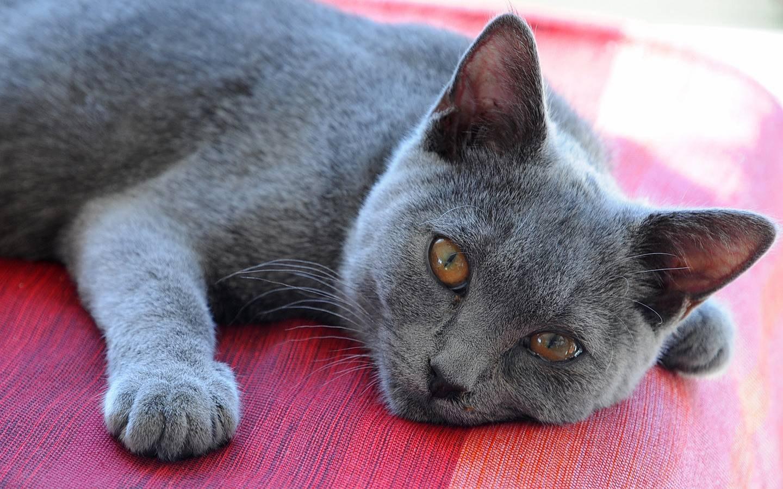 Шартрез кошка описание породы