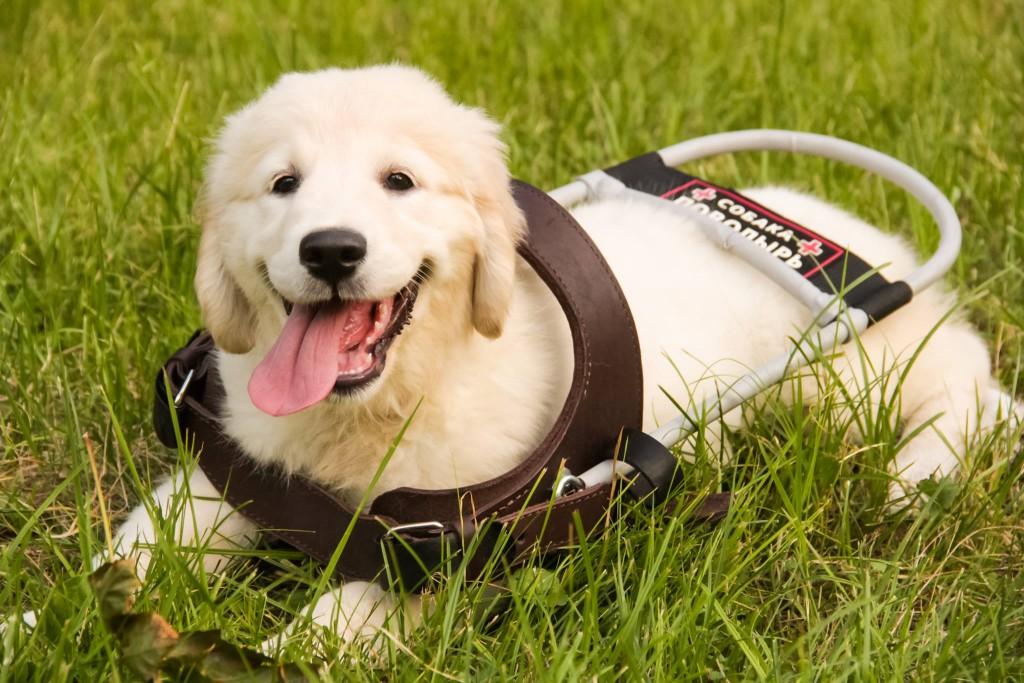 Собака-проводник
