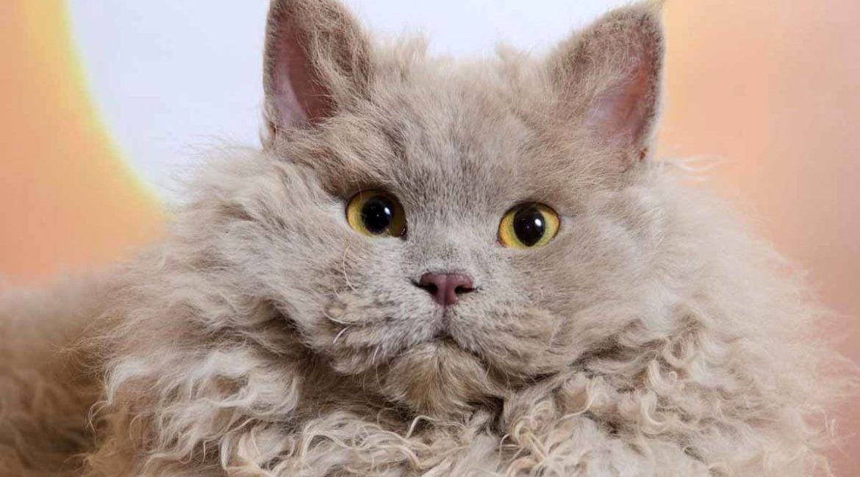 Виды пород кудрявых кошек