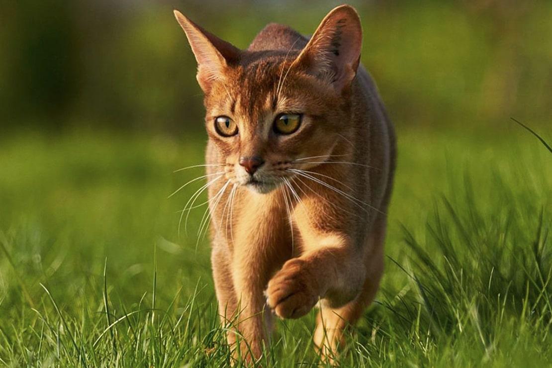 Абиссинская кошка особенности
