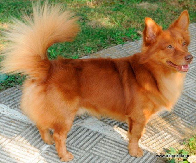 Алопекис греческая собака
