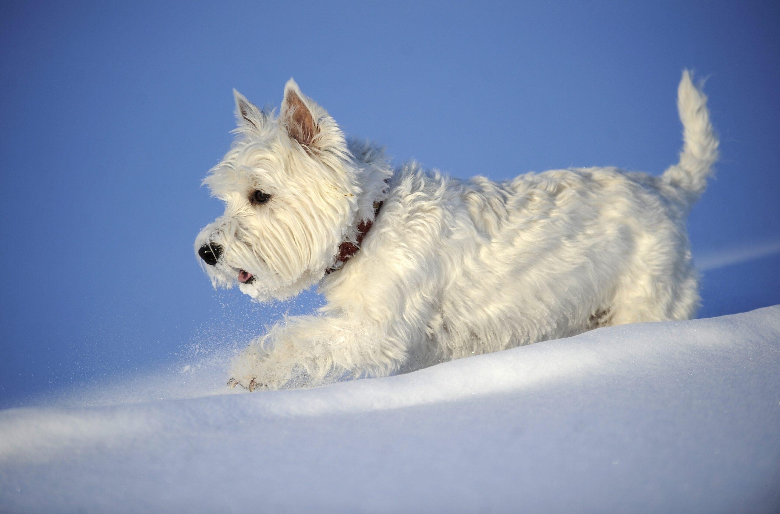 Белые породы собак