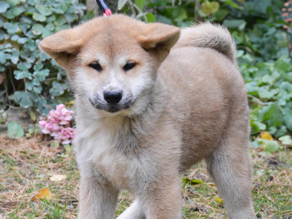 Чиндо собака