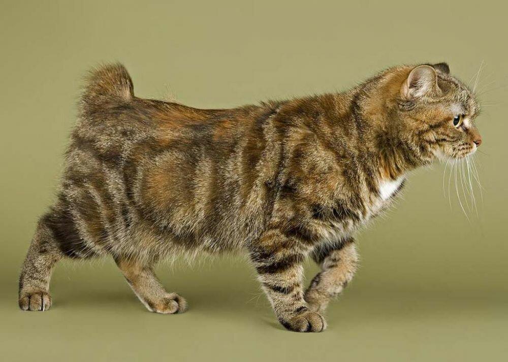 Кимрик описание породы кошек