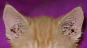 Коричневый налет в ушах у кошки