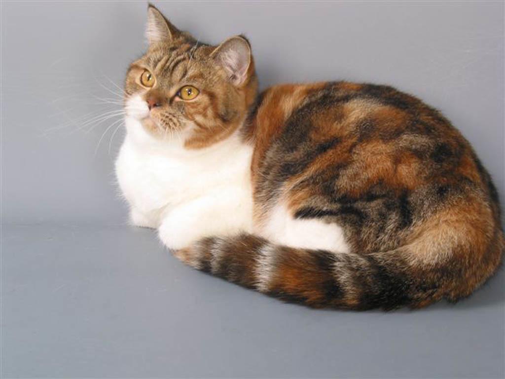 Кошка черепаховая разновидности окраса