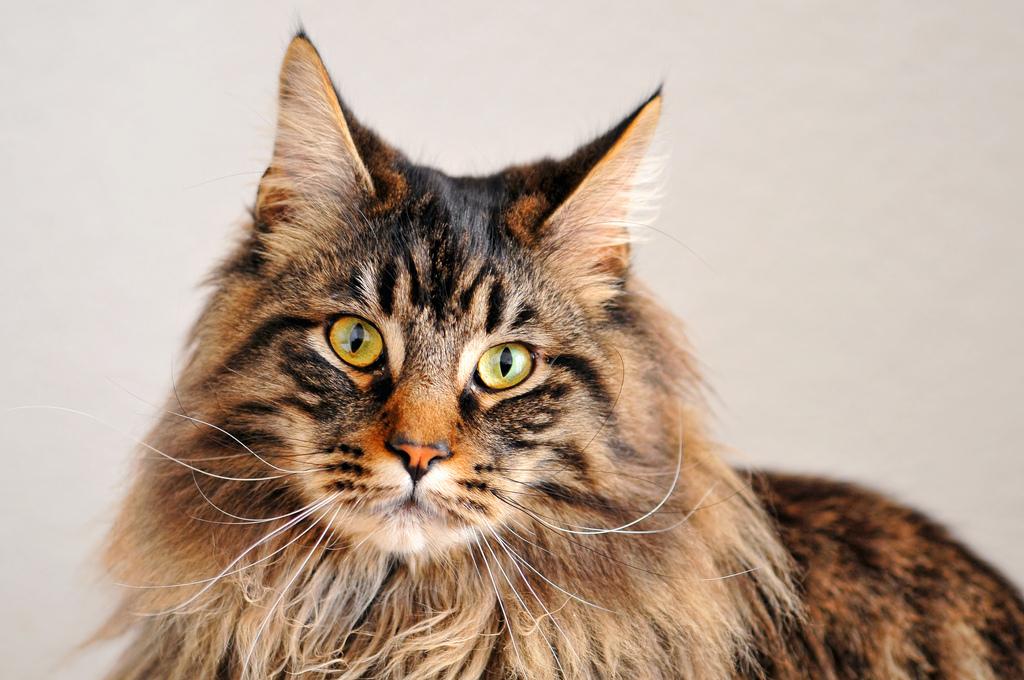 Кошки похожие на рысь