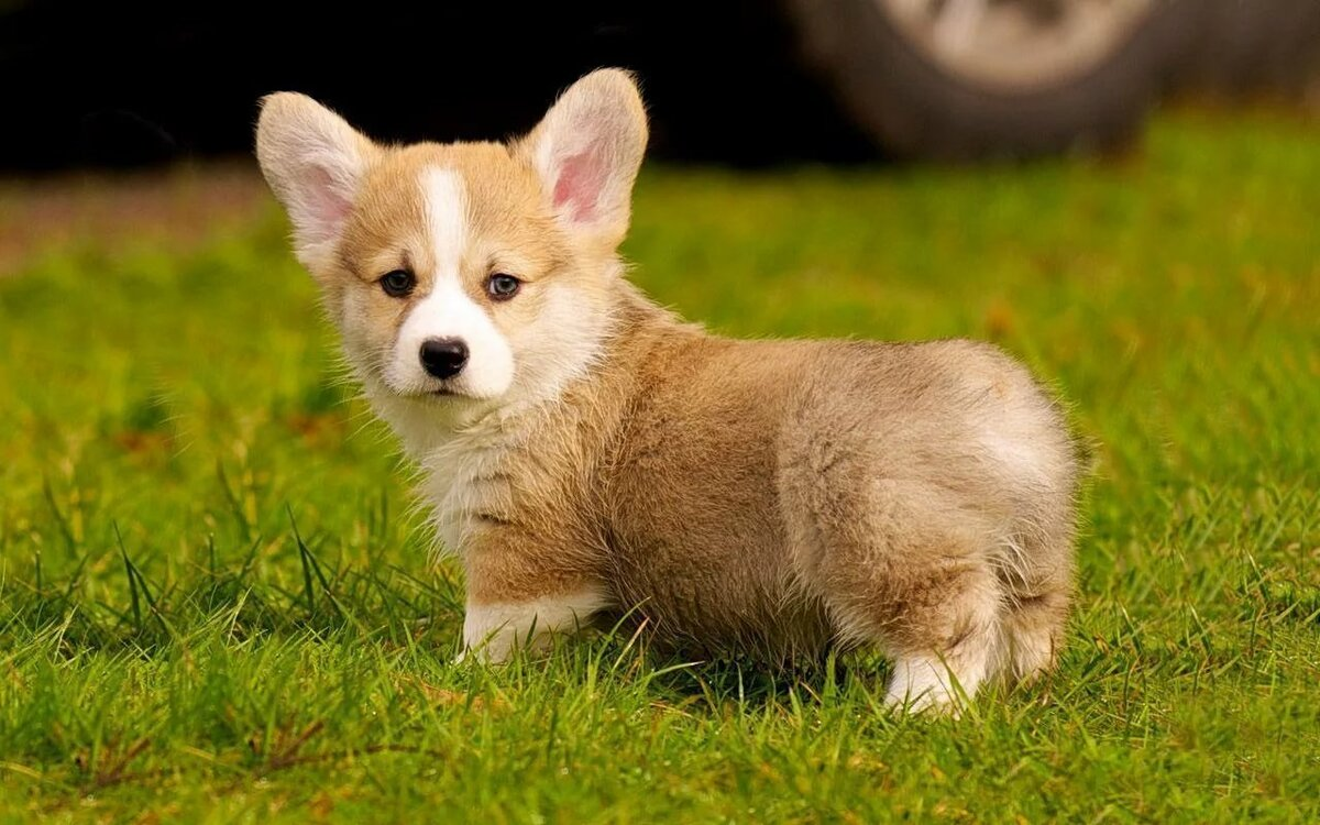 Маленькие породы собак с короткими лапами