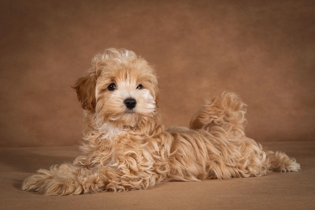 Мальтипу порода собак