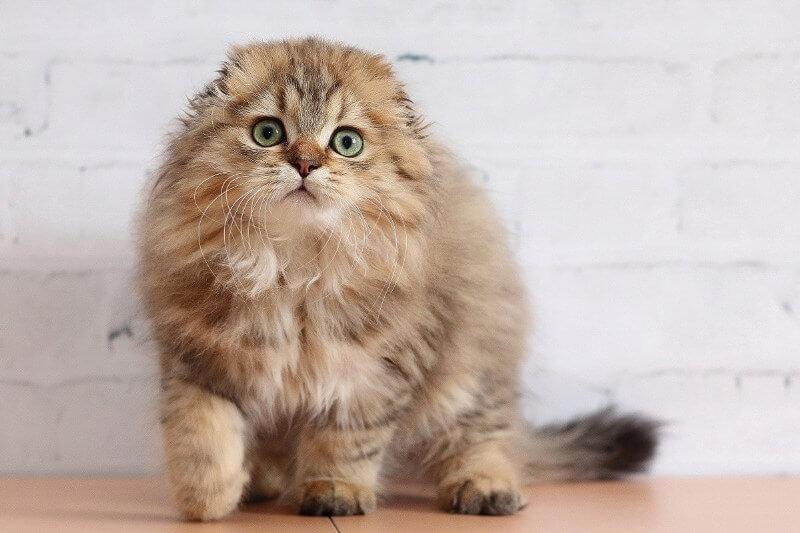 Описание породы кошек хайленд фолд